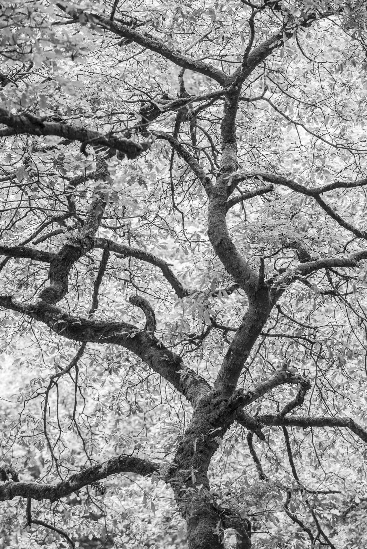 wicklow_tree_bw_APF